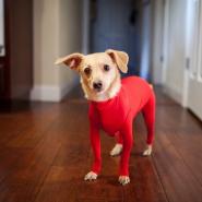 新素材の犬用スーツ 見た目は面白いけど、着心地は抜群
