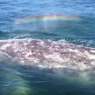 クジラの潮にかかった虹が魔法のような美しさ!