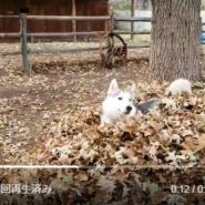 秋が来た!!!枯葉の山ではしゃぎまくるハスキー犬が幸せそう