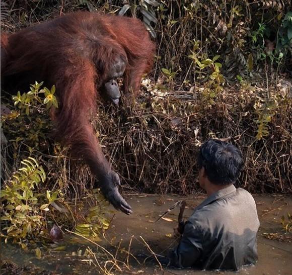 【マレーシア】川に入った男性に、手を差し出してくれた野生のオラウータン